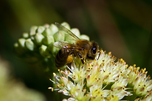 Flower, Honey Bee, Bee, Plants, Insect, White
