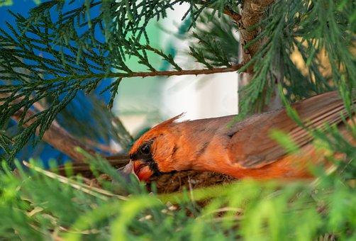 Birds, Cardinal, Beak, Feathers, Baby