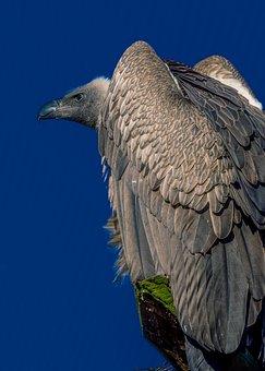 Grey, Wildlife, Feather, Birds, Vulture