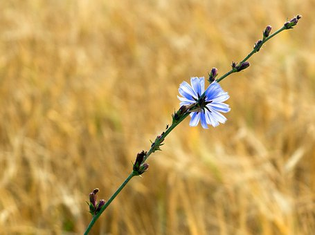 Chicory, Cichorium Intybus, Blossom, Bloom, Wild Flower
