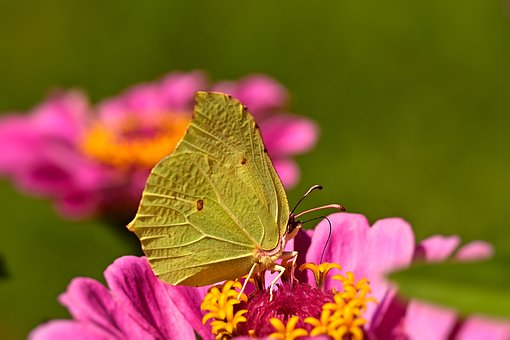 Butterfly, Gonepteryx Rhamni, Insect, Summer, Blossom