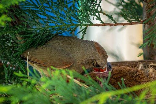Cardinal, Cardinalis Cardinalis, Nest, Feeding