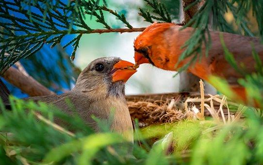 Birds, Cardinal, Cardinalis Cardinalis, Nest, Songbird