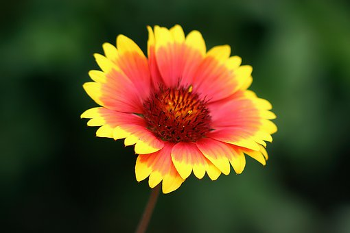 Flower, Yellow, Red, Daisy, Bloom, Colorful