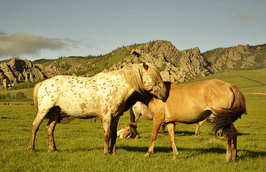 Horses, Mongolia, Foal, Nature, Animal, Equestrian