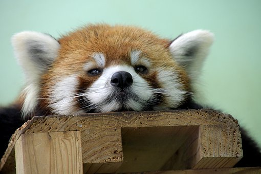 Red Panda, Bear, Animal, Mammal, Fur, Ears, Face