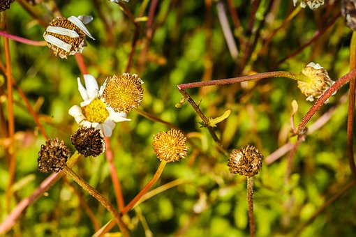 Daisy, Withered, Faded, Flower
