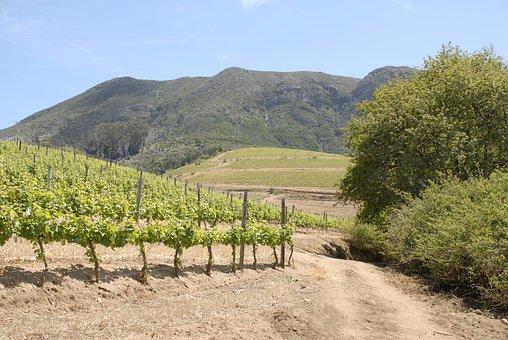 Vineyard, Field, Grapes, Wine, Vines, Trail, Road