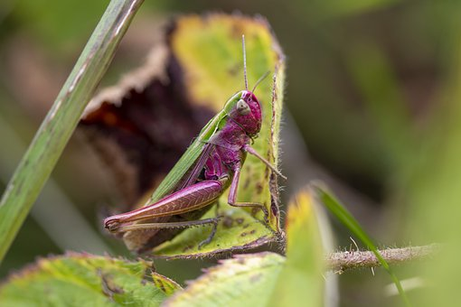 Grasshopper, Insect, Antennae, Leaves, Foliage