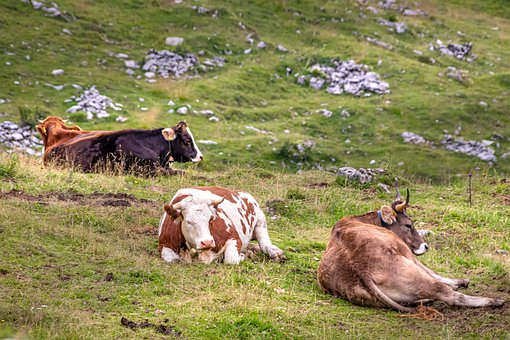 Cows, Cattle, Meadow, Mountains, Nature, Lying