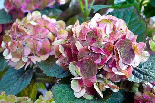 Flowers, Hydrangeas, Blossom, Bloom, Nature, Flora