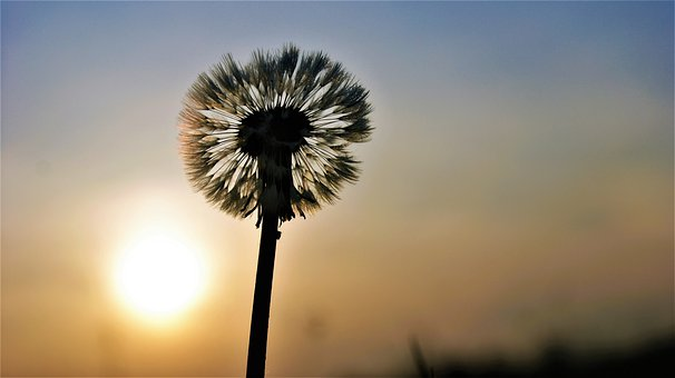 Dandelion, Plant, Flower, Nature, Sun, Twilight