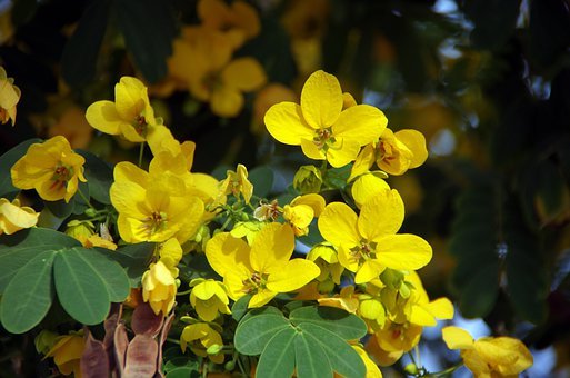 Flower, Yellow, Petals, Cassia, Legumes, Stick Breaker