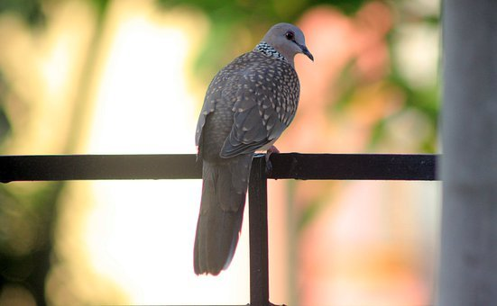 Bird, Pigeon, Spotted Dove, Feathers, Wings, Fauna