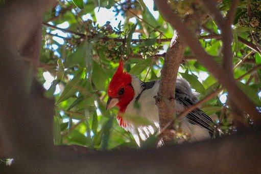 Bird, Cardinal, Peak, Tree, Feathers, Winter, Animals