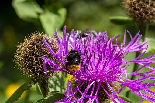 Bumblebee, Hummel, Insect, Flower, Blossom, Bloom