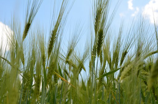 Spike, Cereals, Cornfield, Agriculture, Nature, Barley