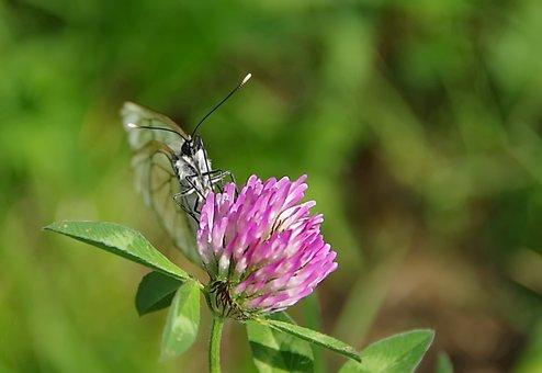 Butterfly, Flower, Foraging, Clover, Trifolium Pratense