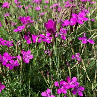 Flowers, Cloves, Flower Meadow, Plant, Petals, Grass
