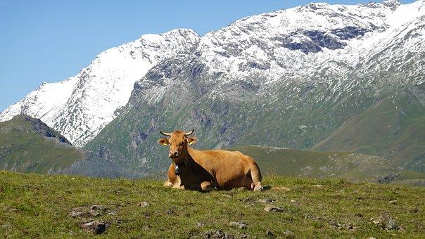 Cow, Horns, Pasture, Field, Grassland, Mountains, Snow
