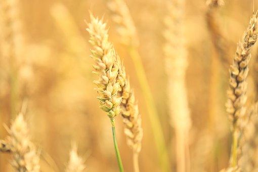 Wheat, Field, Grain, Crop, Rye, Cereal, Golden, Rural