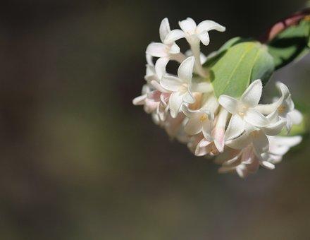 Flower, Rice Flower, Pimelea, Petals, Stem, Plant, Buds