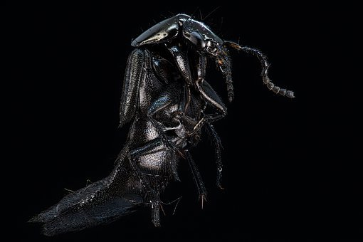 Coach Horse Beetle, Beetle, Insect, Black, Bug, Detail