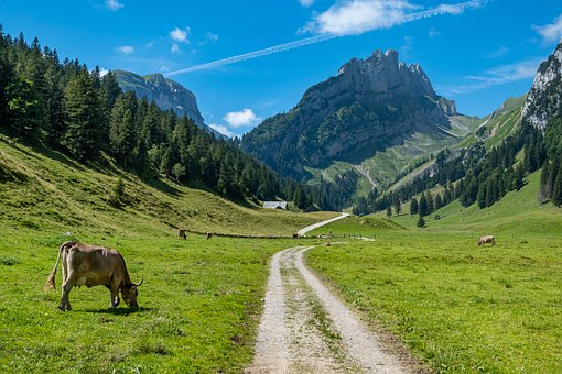 Mountains, Alpine, Trail, Cows, Trees, Forest