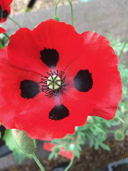 Flower, Poppy, Ladybird Poppy, Plant, Petals, Stem