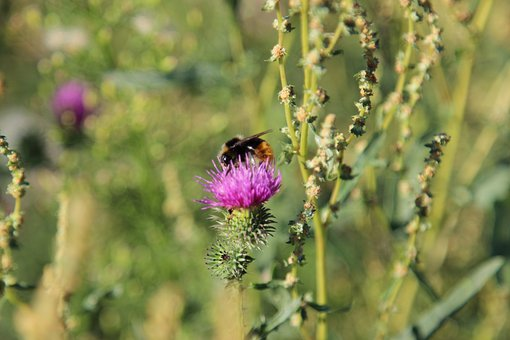 Bumblebee, Flower, Nature, Swamp, Insect, Plant