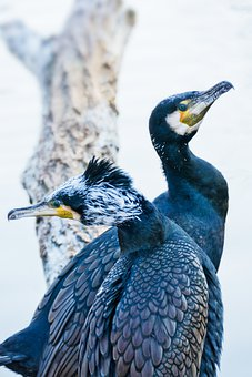 Birds, Cormorants, Beaks, Feathers, Plumage, Avian