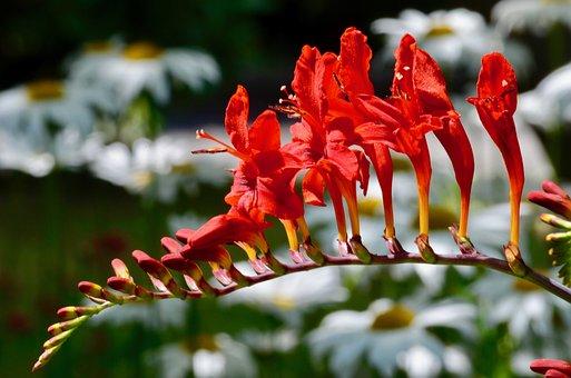 Mombretie, Blossom, Bloom, Shrub, Plant
