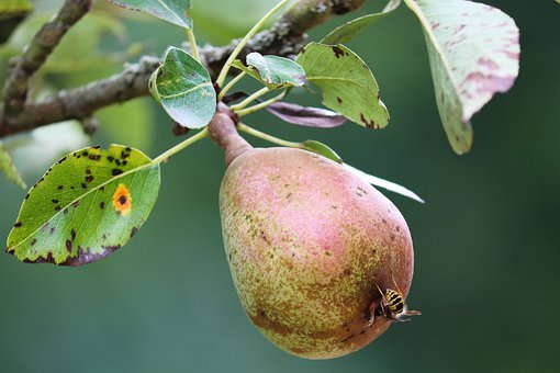 Pear, Fruit, Wasp, Insect, Bug, Branch, Tree, Leaves