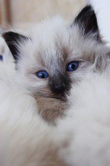 Cat, Feline, Kitty, Kitten, Domestic, Cute, Ears, Fur