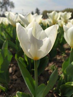 Tulips, Flowers, Garden, Srinagar, Kashmir, Spring, Red