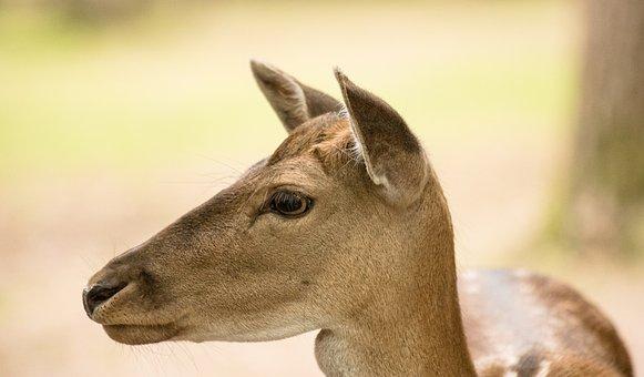 Fallow Deer, Mammal, Animal, Animal World, Forest