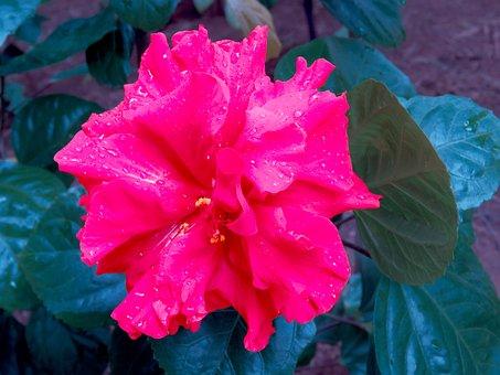 Flower, Hibiscus, Plant, Petals, Leaves, Nature