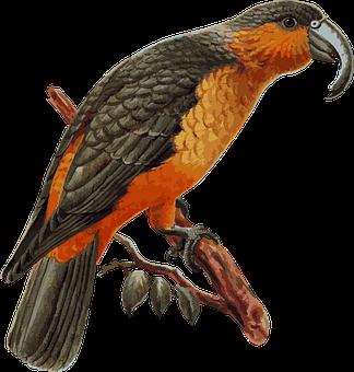 Norfolk Island Kaka, Parrot, Kaka, Norfolk