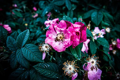 Flowers, Roses, Petals, Leaves, Foliage, Buds