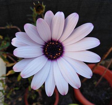 Flower, Daisy, Petals, Dimorphoteca, Dimorfoteca