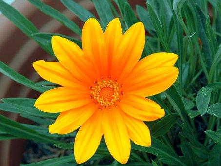 Flower, Daisy, Plant, Petals, Leaves, Nature, Foliage