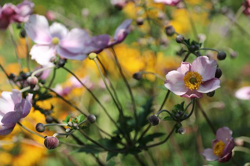 Anemone, White, Nature, Blossom, Bloom, Plant, Garden