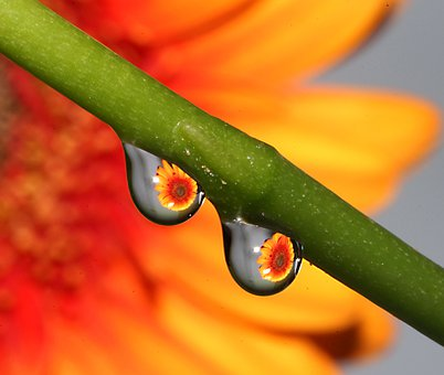 Drop, Drop Of Water, Flower, Reflection, Stem, Nature
