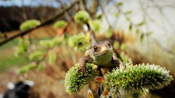 Lizard, Reptile, Sand Lizard, Animal, Branch