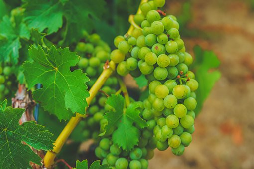 Grapes, Vine, Wine, Vineyard, Fruit, Winegrowing