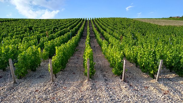 Vineyards, Field, Meadow, Agriculture, Harvest, France