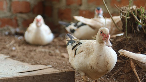 Ducks, Birds, Beaks, Festhers, Plumage, Animal, Fauna