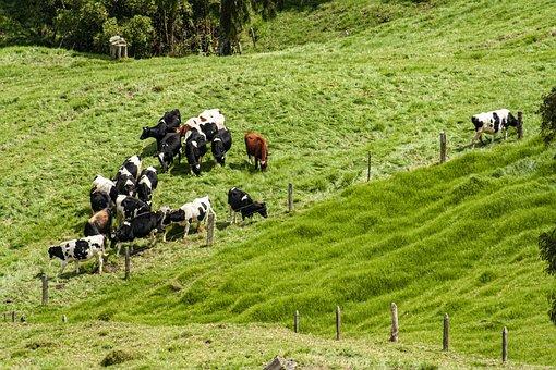 Cows, Livestock, Flock, Animals, Pastures, Dairy, Rural