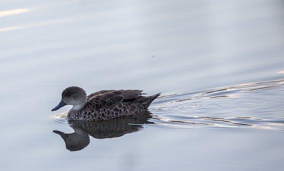 Duck, Bird, Beak, Festher, Plumage, Lake, Reflection