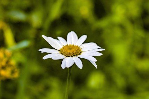 Chamomile, Flower, Blossom, White, Summer, June